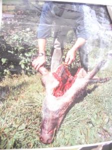 03 dicembre 2011 Trento fiaccolata per denunciare lo sterminio degli animali nel periodo natalizio (e non solo!) 136