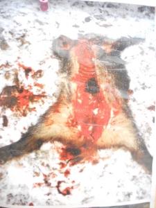 03 dicembre 2011 Trento fiaccolata per denunciare lo sterminio degli animali nel periodo natalizio (e non solo!) 161