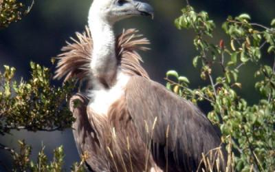 Un farmaco minaccia gli avvoltoi europei 1
