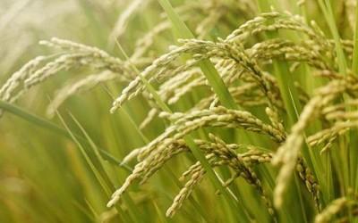 Olio di riso: proprietà, benefici ed utilizzi in cucina 4