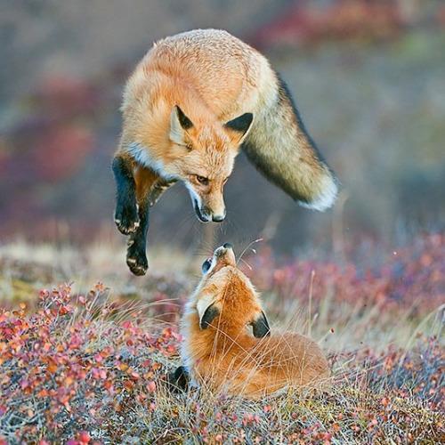 "standavis: "". Photography by @ (Dee Ann Pederson). Red Fox,... 2"