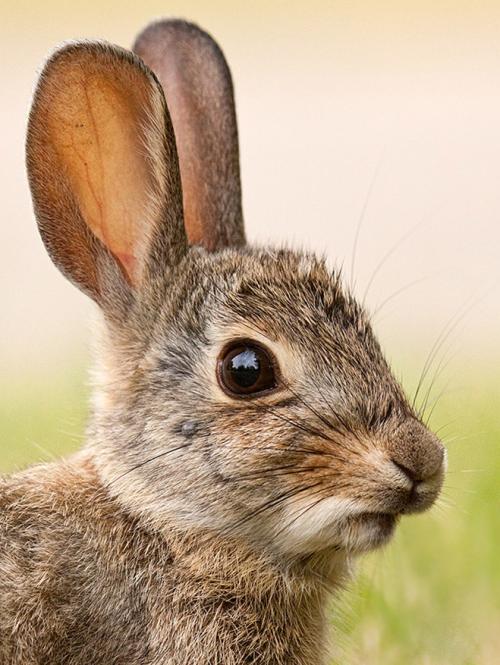 end0skeletal: Rabbitby kootenayphotos 2