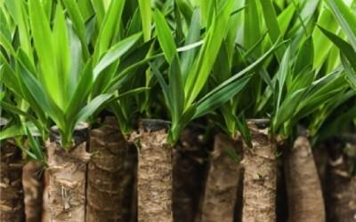 Yucca proprietà e benefici per la salute 1