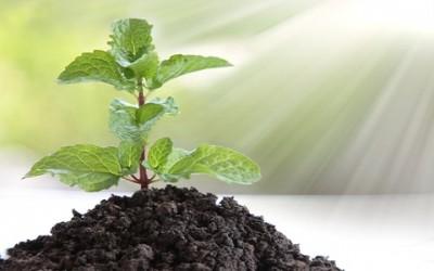 Come coltivare menta in vaso e a terra 1