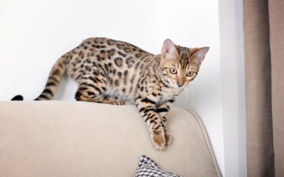 Gatto del bengala: caratteristiche e aspetto 5