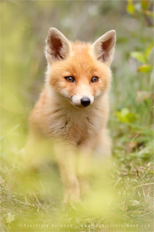 cuiledhwenofthegreenforest: Fox behind the Ferns by thrumyeye 7