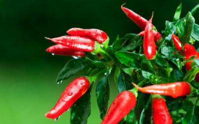 Come coltivare peperoncino in vaso e a terra 4