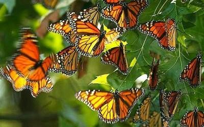 La farfalla monarca e le sue incredibili migrazioni 10