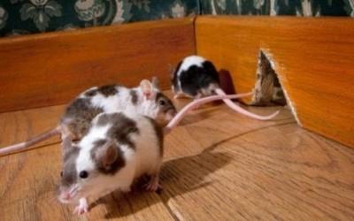 Come allontanare i topi in modo naturale 2