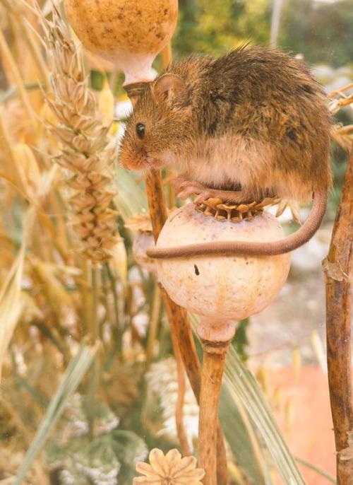 pagewoman: Harvest Mouse ? via Ellie Harrison 26