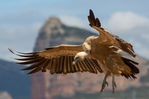birds-of-prey-daily: Griffon Vulture 25