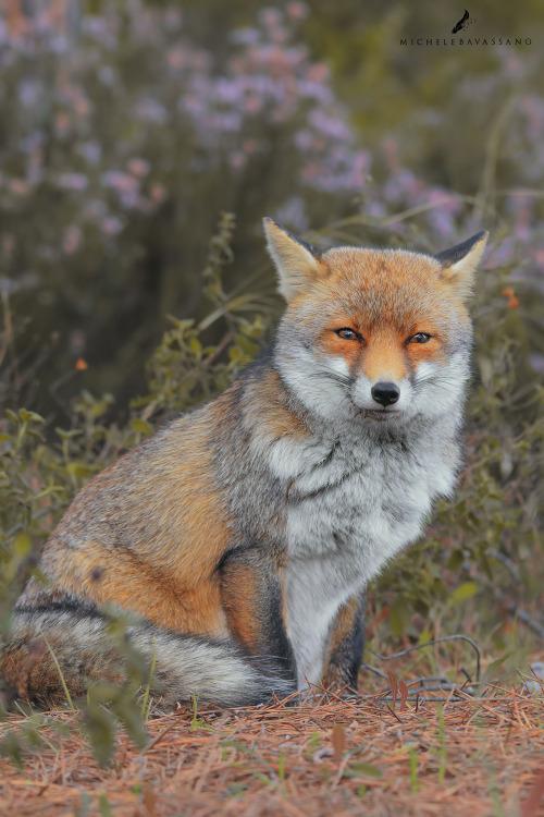 beautiful-wildlife: FoxinessbyMichele Bavassano 16