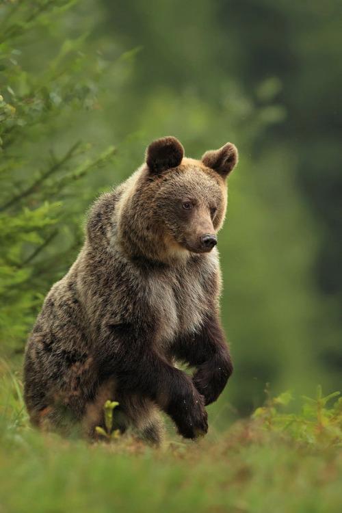 faerieforests: Brown bear by jaroslavciganik77 10