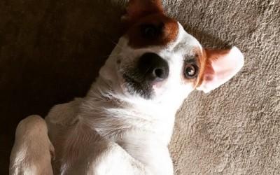 Jack Russell Terrier, carattere e addestramento 2