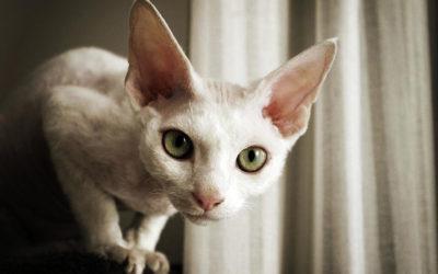 Gatto Devon Rex: carattere, educazione e aspetto 2