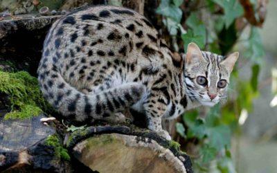 Gatto leopardo: carattere, educazione e aspetto 13