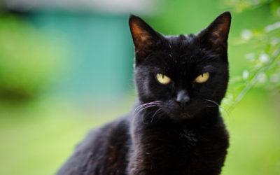 Gatto nero: carattere, storia e razze 7