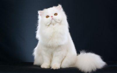 Gatto persiano: carattere, educazione e aspetto 7