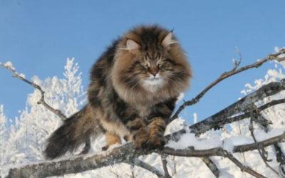 Gatto siberiano: carattere, educazione e aspetto 2