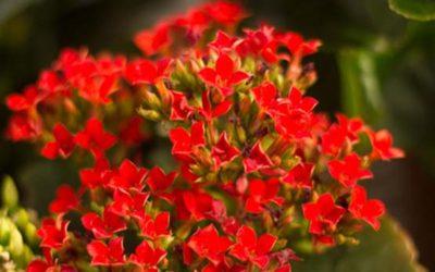 Kalanchoe: cura e coltivazione di questa pianta 4