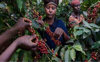 Coi cambiamenti climatici rischiamo di perdere metà delle piantagioni di caffè 4