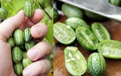 Cucamelon, il melone che sembra un piccolo cetriolo 35
