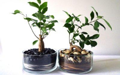 Ficus benjamin e altre varietà: cura di questa pianta tropicale 1
